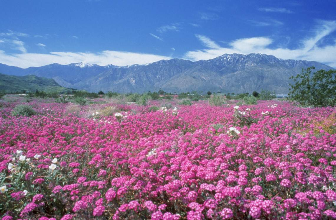 Palm desert california real estate wildflowersdesert sand verbenapalm springs mightylinksfo