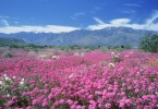 Wildflowers_Desert-Sand-Verbena_Palm-Springs